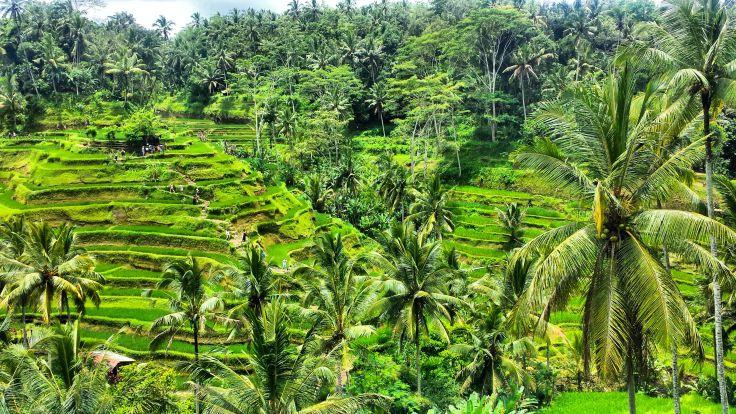 Ubud, Bali, rice terrace